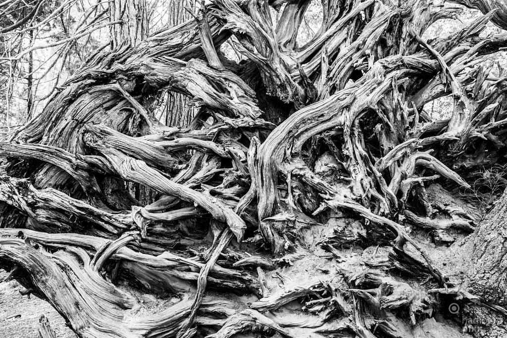 Sequoia Wurzeln